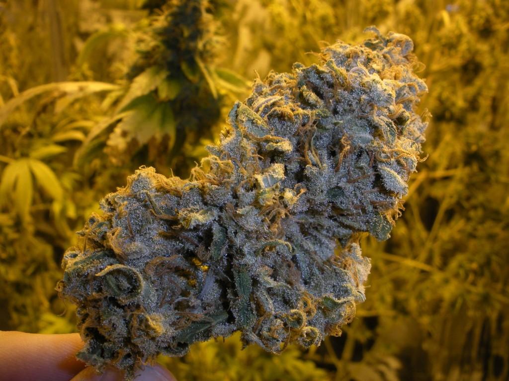 uses of cannabis ruderalis