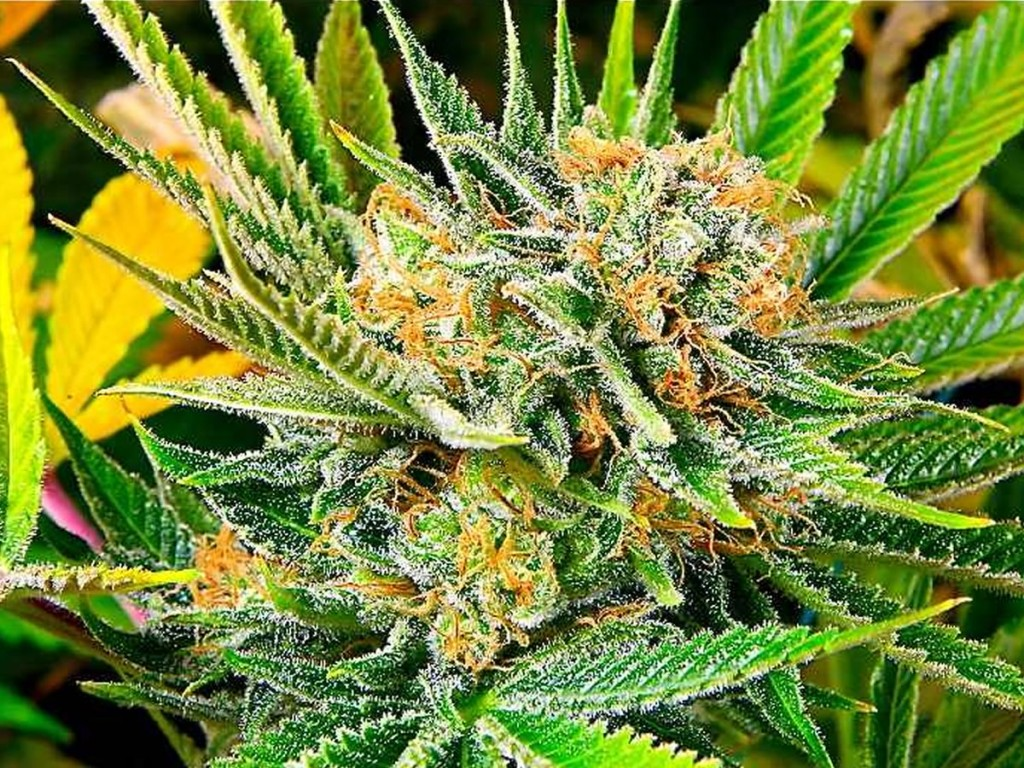 when to harvest cannabis ruderalis